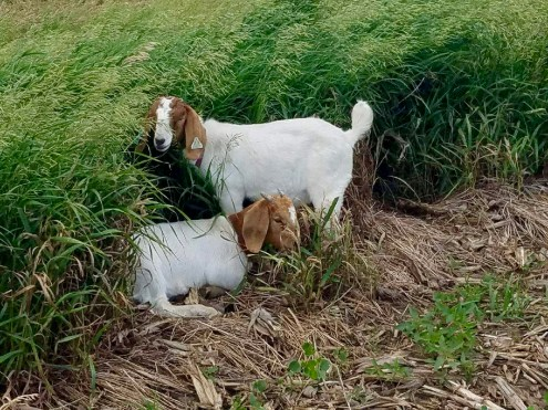 Our goats spotted in Kramer's field