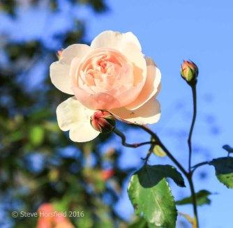 Rosa 'Lichfield Angel'