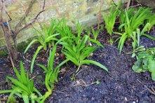 Amaryllis belladonna lilies