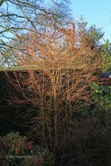 Cornus sanguinea 'Midwinter Fire' (Winter beauty)