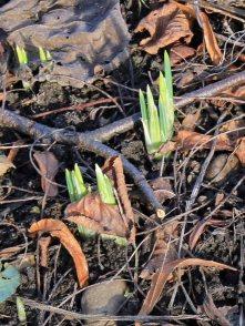 Iris Reticualata