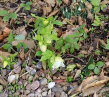 Hellebores: Originally Ashwood Hybrids but after 20 years probably better to call them Glebe House hybrids.