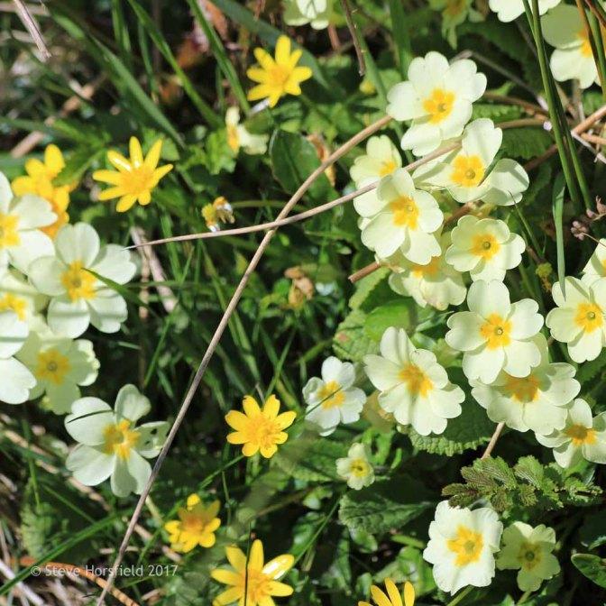 Primrose and Lesser Celandine