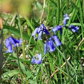 Common Bluebell Hyacinthoides non-scripta