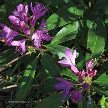 Rhododendron Rhododendron ponticum
