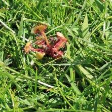 Sundew Drosera rotundifolia