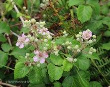 Branble ( Rubus fruticosus)