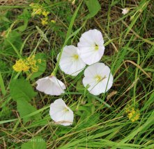 Field Bindweed (Convolvulus arvensis )