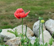 Long Headed Poppy (Papaver dubium )