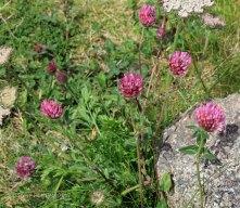 Red Clover (Trifolium pratense )