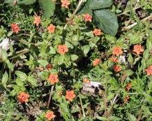 Scarlet Pimpernel (Anagallis arvenis )