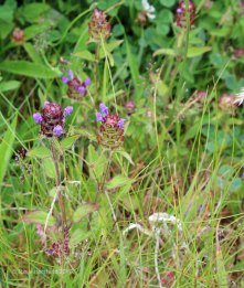 Self-Heal (Prunella vulgaris )