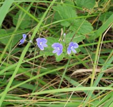 Germander Speedwell (Veronica chamaedrys )