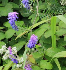 Tufted Vetch (Vicia cracca )