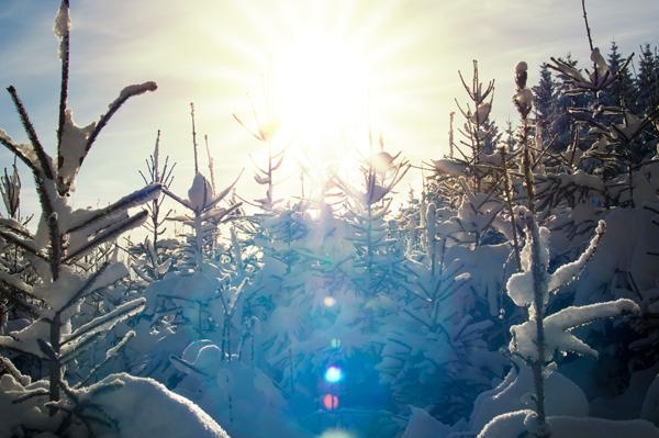 Sunburst in snowy Spruce Forest