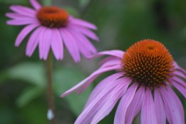 Coneflowers from Indiana