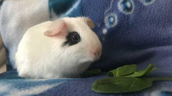 Captain Jack Sparrow, our male guinea pig, one of Gleneden Ridge Farm's small animals