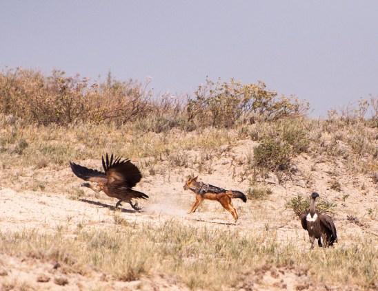 Jackal, vulture
