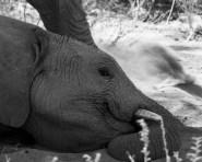 Desert elephants - one eye open
