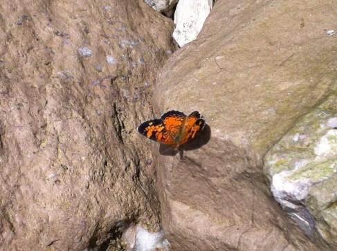 Monarch butterfly Point Pelée