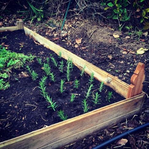 Rosemary cuttings.