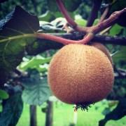 Stunted kiwi fruit