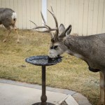 Bucks Emptying The Birdbath