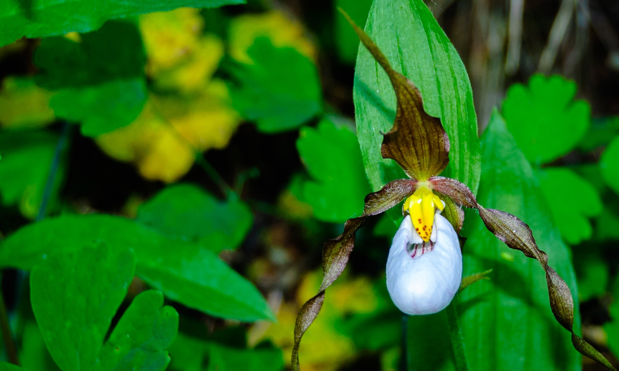 Rocky Mountain Lady's Slipper