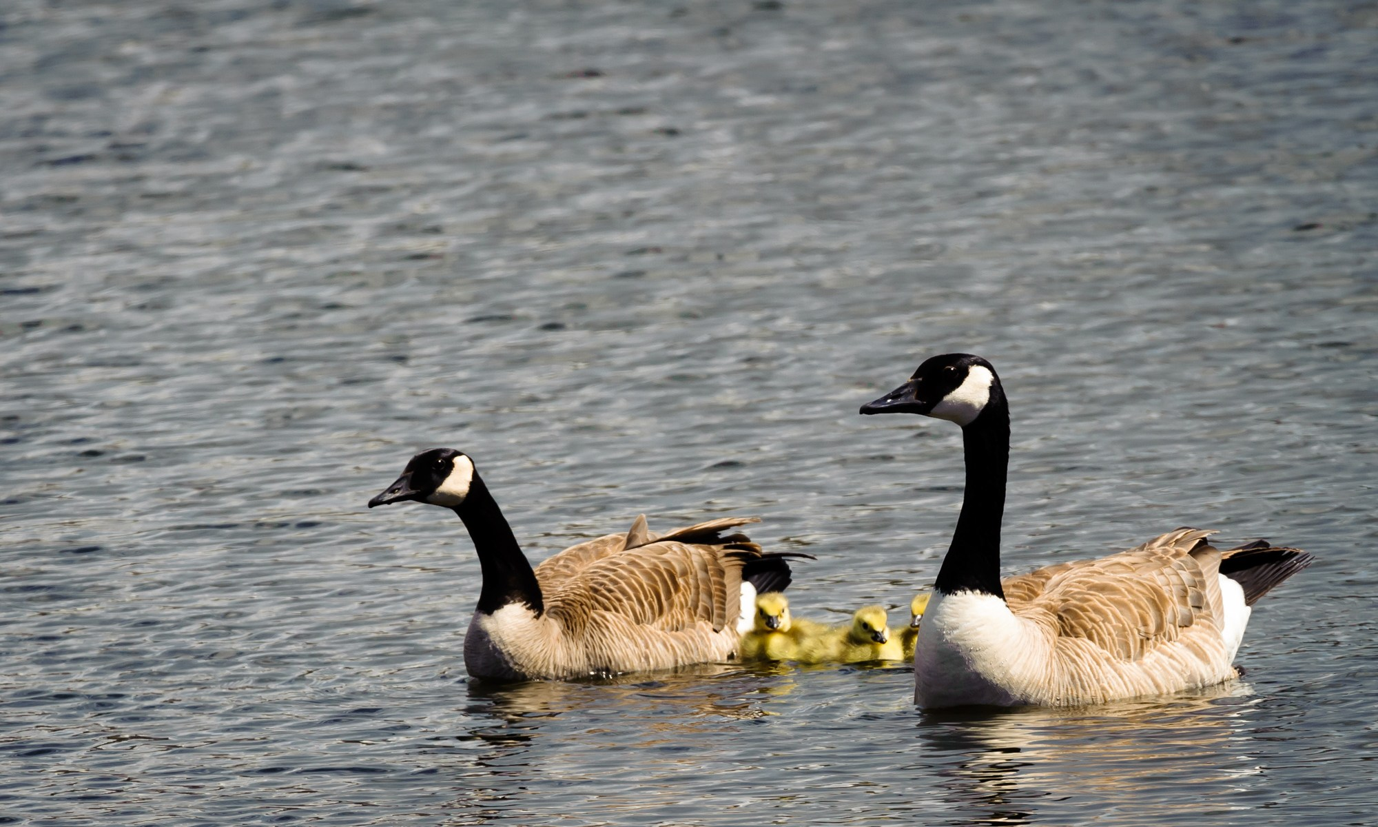 Canadas and Their Goslings