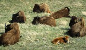 The Bison Compound