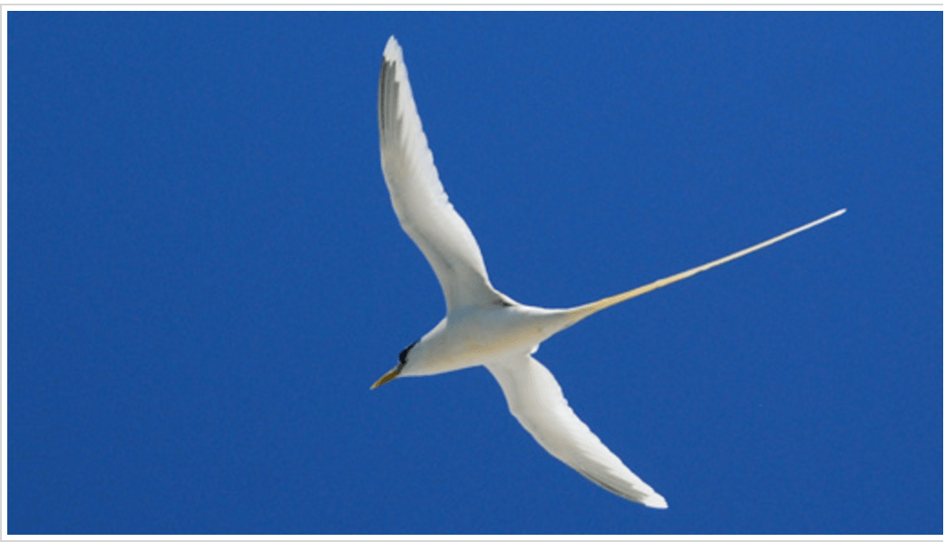 Photo of White tailed Tropic bird with permission