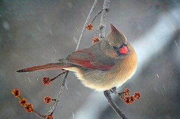Female Cardinal in Snowstorm