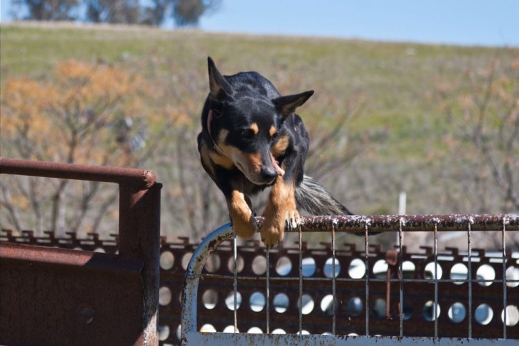 kelpie-jumping-over-the-gate-at-glenwood-merinos