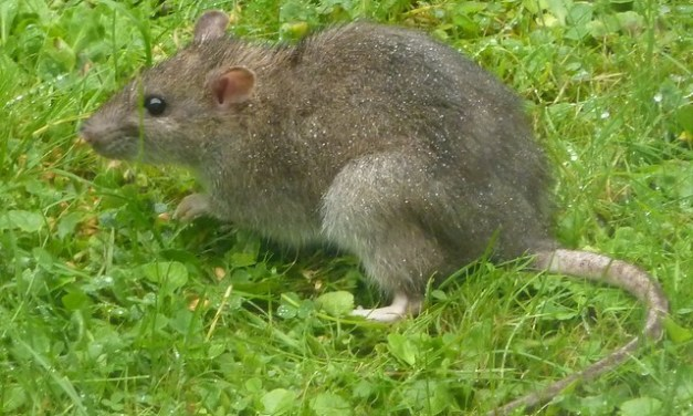 Allamakee County Chronicles XI – Rats!