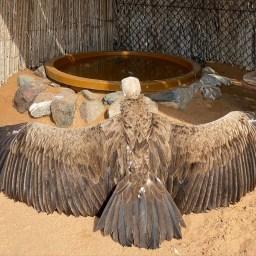 Bird of prey at Kalba Bird of Prey Centre, UAE