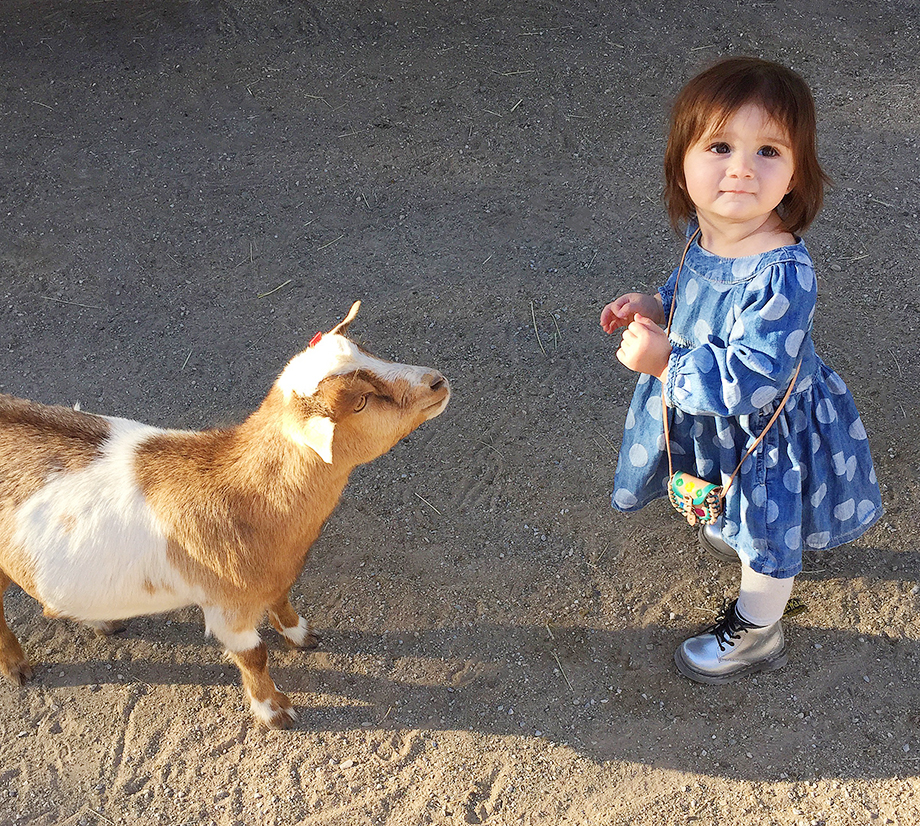 A toddler in a polka dot denim dress stands by a goat.