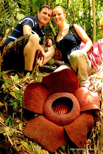 Rafflesia - The World's Largest Flower, Cameron Highlands, Malaysia
