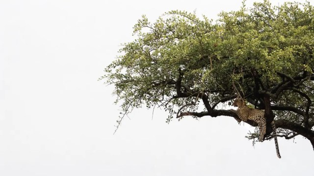 wildlife art print leopard in tree