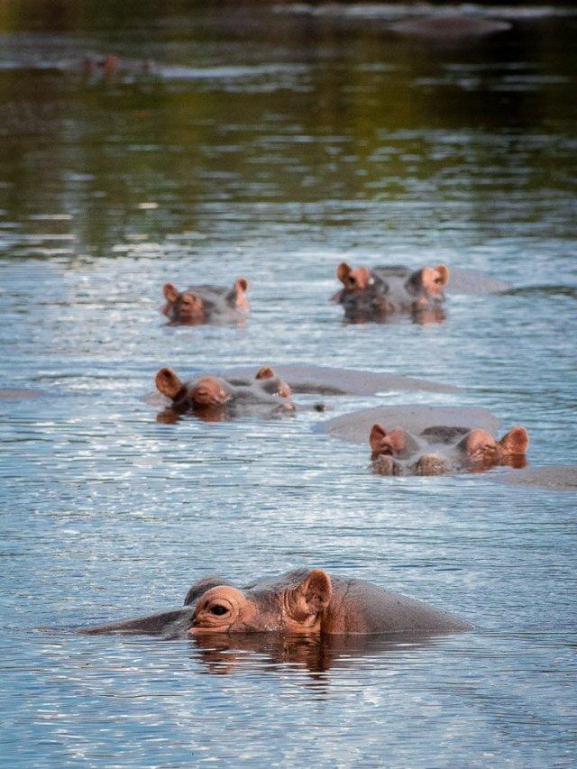 hippos swimming bathing wildlife art print