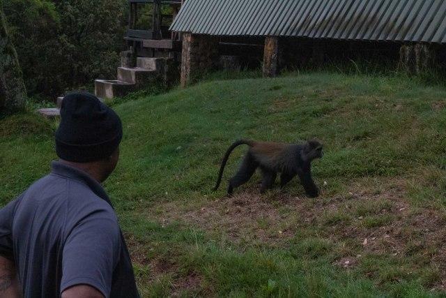 Blue Monkey kilimanjaro wildlife