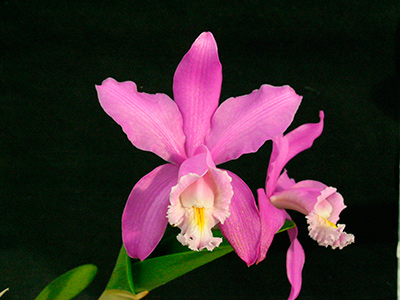 Cattleya-harrisonae-2