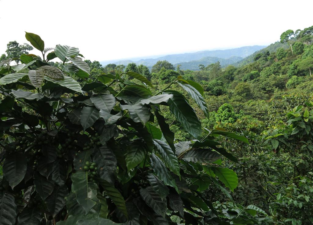 The Finca Irlanda shade coffee farm in Mexico's southern Chiapas state.