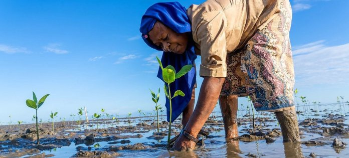 A woman plants mangrove trees in Timor Leste.