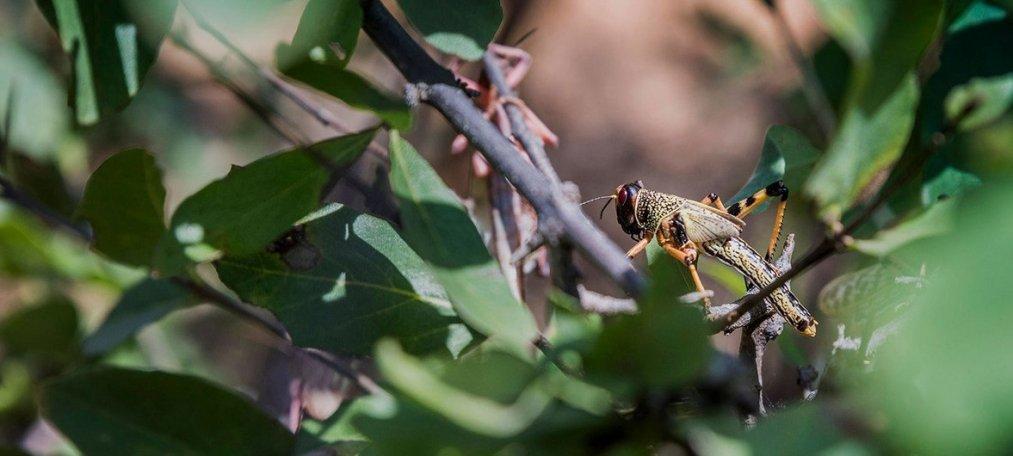 La plaga de langostas del desierto pone en riesgo la alimentación de millones de personas