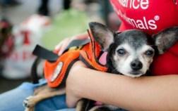 A Chihuahua ready for adoption at Adoptapalooza on September 8, 2013. Photo Credit: Lisa Burger
