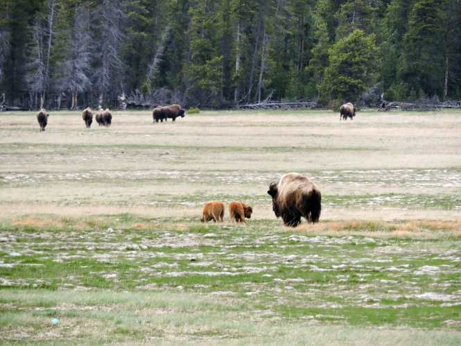 Bison calves in Yellowstone