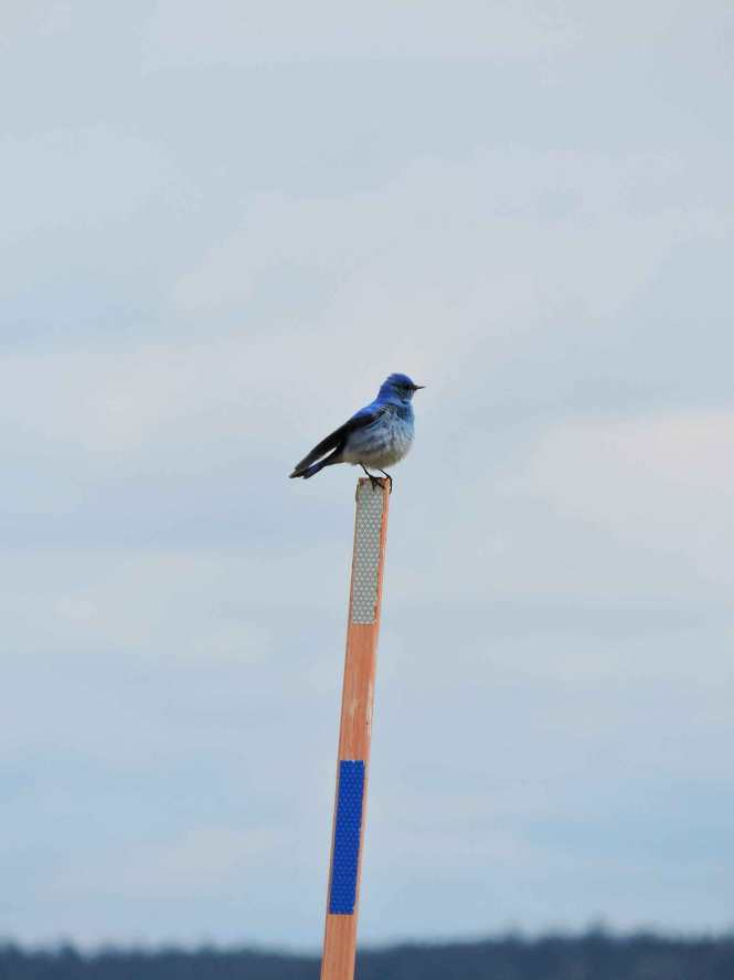 Mountain Bluebird in Grand Teton