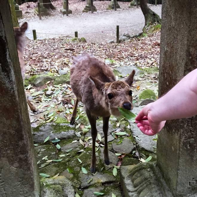 Feeding deer at Nara Deer Park