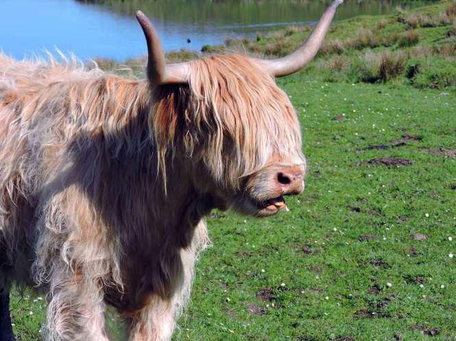 highland cow in islay
