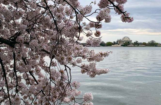 Cherry blossoms with Jefferson Monument